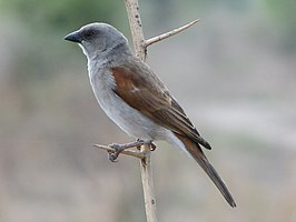 Northern Grey-headed Sparrow RWD.jpg