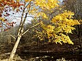 Norway Maple (31164150802).jpg