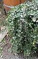Nothofagus cunninghamii 02.jpg