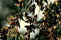 Numerous butterflies sitting on branch leaves.jpg