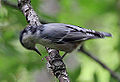 Nuthatch spots something (4120465450).jpg