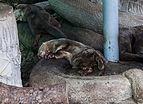 Nutria lisa (Lutrogale perspicillata), Zoo de Ciudad Ho Chi Minh, Vietnam, 2013-08-14, DD 02.JPG