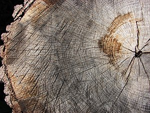 Quercus marilandica - Blackjack oak stump, approx. 75 years old