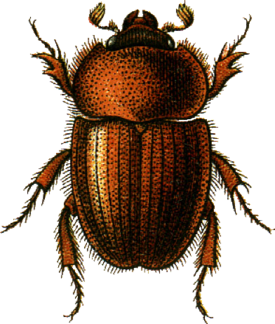 Ochodaeus chrysomeloides Jacobson.png