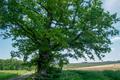 Odenwaldbaum, Naturdenkmal, Hessen, Odenwaldkreis, Bad Koenig, Kimbach.png
