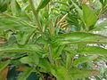 Oenothera fruticosa subsp glauca 3.JPG
