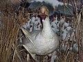 Oie blanche 02 - Cap tourmente - octobre 2005.jpg