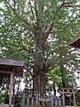 Old Japanese Ginkgo tree of Idate-jinja shrine.JPG