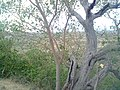 Old Tree Sarjalal - panoramio.jpg