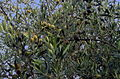 Olive sulla pianta.JPG