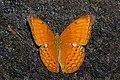 Open wing position of Cirrochroa aoris Doubleday, 1847 – Large Yeoman WLB DSC 9953.jpg