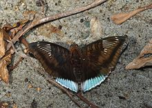 Open wing position of Male Euthalia phemius Doubleday, 1848 – White-edged Blue BaronWLB DSC 0 067.jpg