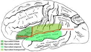 Operculum (brain) - Operculum
