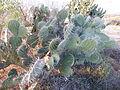 Opuntia engelmanii (5762178685).jpg