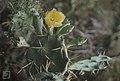 Opuntia ficus-indica. Mathewtown, Inagua (27093890179).jpg