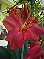 Orange Canna Lily (5).jpg