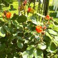 Orange roses, France.jpg