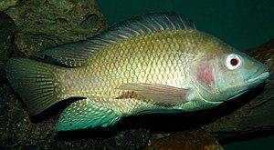 Tilapia - Image: Oreochromis niloticus Nairobi