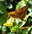 Oriens goloides - Smaller Dartlet 06.JPG