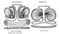 Origin of Vertebrates Fig 090.png