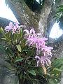 Orquideas en Naguanagua Estado carabobo.jpg