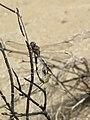 Orthetrum sabina - Green Marsh Hawk mating pair at Makutta (2).jpg