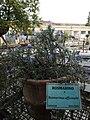 Orto Botanico Lucca rosmarino.jpg