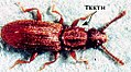 Oryzaephilus surinamensis-AndyBrookes.jpg