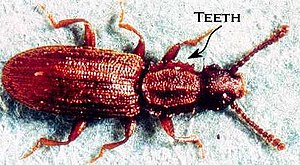 Home-stored product entomology - Sawtoothed grain beetle