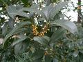 Osmamthus fragrans var. thunbergii.JPG