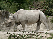 The Black Rhinoceros is similar in color to the White Rhinoceros.