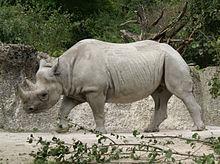 pene del rinoceronte