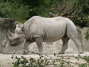 Rhinoceros - The black rhinoceros has a beak shaped lip and is similar in color to the white rhinoceros
