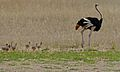 Ostrich (Struthio camelus) male with chicks (6511046161).jpg
