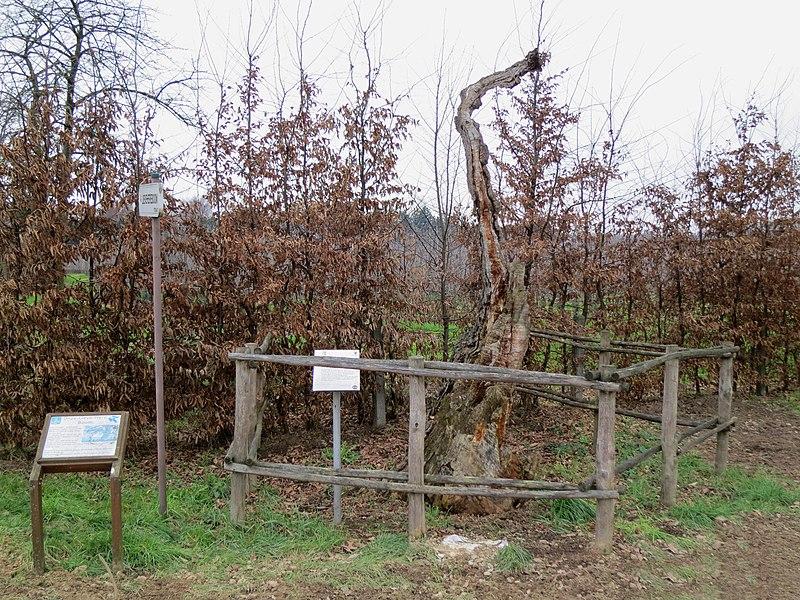 Oudste eik van Limburg