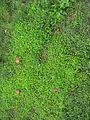 Oxalis corniculata habit1 - Flickr - Macleay Grass Man.jpg
