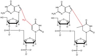 Structure of two variants of DNA crosslinking induced by Oxidative Stress and/or UV radiation.