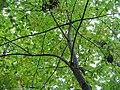 Oxydendrum arboreum 0zz.jpg