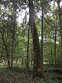 P.Białowieska sq.216B Acer platanoides.JPG