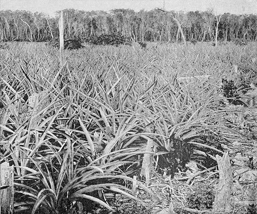 PSM V54 D036 Pineapple field in florida.jpg