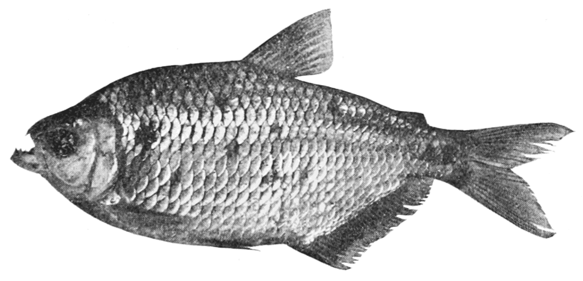 Banded Astyanax (Astyanax fasciatus) - The Aquarium Wiki