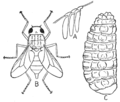 PSM V76 D221 Hypoderma lineata and its stages of development.png