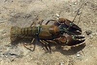Pacifastacus leniusculus 01 by-dpc.jpg