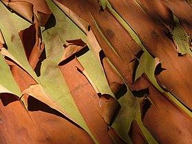 Pacific Madrone Arbutus menziesii Closeup 2816px.jpg