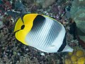Pacific double-saddle butterflyfish (Chaetodon ulietensis) (32396204187).jpg
