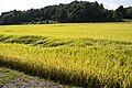 Paddy field in Kasama, Ibaraki 06.jpg