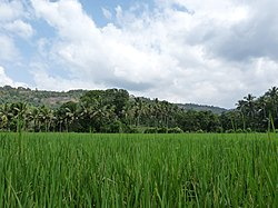 Paddy fields at Kadavoor.jpg