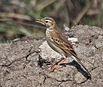 Paddyfield Pipit (Anthus rufulus) calling at Sultanpur I Picture 189.jpg