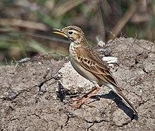 Download 720+  Gambar Burung Richards Pipit HD  Free