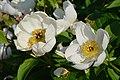Paeonia lactiflora 2021 06 20 Kumpula 0377.jpg